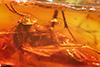 http://mczbase.mcz.harvard.edu/specimen_images/entomology/paleo/large/PALE-7303_syn1_Mycetophilidae.jpg