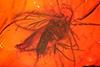 http://mczbase.mcz.harvard.edu/specimen_images/entomology/paleo/large/PALE-7305_Mycetophilidae.jpg