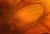 http://mczbase.mcz.harvard.edu/specimen_images/entomology/paleo/large/PALE-7308_syn2_Sciaridae.jpg