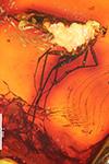 http://mczbase.mcz.harvard.edu/specimen_images/entomology/paleo/large/PALE-7311_Mycetophilidae_qm.jpg