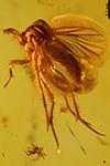 http://mczbase.mcz.harvard.edu/specimen_images/entomology/paleo/large/PALE-7315_Mycetophilidae.jpg