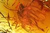 http://mczbase.mcz.harvard.edu/specimen_images/entomology/paleo/large/PALE-7316_Sciaridae.jpg