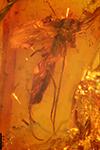 http://mczbase.mcz.harvard.edu/specimen_images/entomology/paleo/large/PALE-7321_Mycetophilidae.jpg