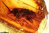 http://mczbase.mcz.harvard.edu/specimen_images/entomology/paleo/large/PALE-7331_Mycetophilidae_qm.jpg