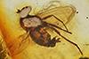 http://mczbase.mcz.harvard.edu/specimen_images/entomology/paleo/large/PALE-7346_Dolichopodidae.jpg
