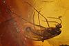http://mczbase.mcz.harvard.edu/specimen_images/entomology/paleo/large/PALE-7387_syn1_Sciaridae.jpg