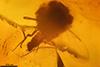 http://mczbase.mcz.harvard.edu/specimen_images/entomology/paleo/large/PALE-7387_syn2_Ceratopogonidae.jpg