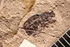 http://mczbase.mcz.harvard.edu/specimen_images/entomology/paleo/large/PALE-73_Evopes_veneratus_type.jpg