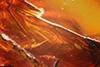 http://mczbase.mcz.harvard.edu/specimen_images/entomology/paleo/large/PALE-7456_syn1_Rhagionidae.jpg