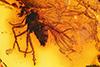 http://mczbase.mcz.harvard.edu/specimen_images/entomology/paleo/large/PALE-7458_Rhagionidae.jpg