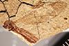 http://mczbase.mcz.harvard.edu/specimen_images/entomology/paleo/large/PALE-7461_Tipula_florissanta_type.jpg