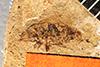 http://mczbase.mcz.harvard.edu/specimen_images/entomology/paleo/large/PALE-7473_Phrudopamera_wilsoni_type.jpg
