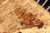 http://mczbase.mcz.harvard.edu/specimen_images/entomology/paleo/large/PALE-7476_Poecilocapsus_veternosus_type.jpg