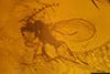 http://mczbase.mcz.harvard.edu/specimen_images/entomology/paleo/large/PALE-7496_Cecidomyiidae.jpg