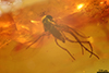 http://mczbase.mcz.harvard.edu/specimen_images/entomology/paleo/large/PALE-7501_Acalyptratae_1.jpg