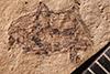 http://mczbase.mcz.harvard.edu/specimen_images/entomology/paleo/large/PALE-7505_Evopes_veneratus_type.jpg