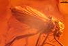 http://mczbase.mcz.harvard.edu/specimen_images/entomology/paleo/large/PALE-7669_syn2_Chironomidae.jpg