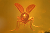 http://mczbase.mcz.harvard.edu/specimen_images/entomology/paleo/large/PALE-7680_Chironomidae.jpg