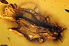 http://mczbase.mcz.harvard.edu/specimen_images/entomology/paleo/large/PALE-7686_Braconidae.jpg