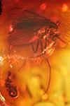 http://mczbase.mcz.harvard.edu/specimen_images/entomology/paleo/large/PALE-7699_Chironomidae.jpg