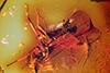 http://mczbase.mcz.harvard.edu/specimen_images/entomology/paleo/large/PALE-7724_Braconidae_1.jpg