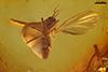 http://mczbase.mcz.harvard.edu/specimen_images/entomology/paleo/large/PALE-7758_Mycetophilidae.jpg