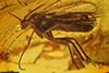 http://mczbase.mcz.harvard.edu/specimen_images/entomology/paleo/large/PALE-7764_Mycetophilidae.jpg