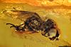 http://mczbase.mcz.harvard.edu/specimen_images/entomology/paleo/large/PALE-7773_Syrphidae.jpg