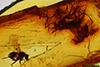 http://mczbase.mcz.harvard.edu/specimen_images/entomology/paleo/large/PALE-7777_Palaeomedeterus_sp.jpg