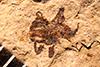 http://mczbase.mcz.harvard.edu/specimen_images/entomology/paleo/large/PALE-780_Stenovelia_nigra_type.jpg