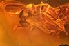 http://mczbase.mcz.harvard.edu/specimen_images/entomology/paleo/large/PALE-7834_syn1_Sciaridae_qm_1.jpg