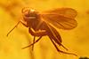 http://mczbase.mcz.harvard.edu/specimen_images/entomology/paleo/large/PALE-7883_Mycetophilidae.jpg