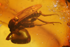http://mczbase.mcz.harvard.edu/specimen_images/entomology/paleo/large/PALE-7896_Mycetophilidae.jpg