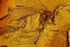 http://mczbase.mcz.harvard.edu/specimen_images/entomology/paleo/large/PALE-7897_syn1_Ceratopogonidae.jpg