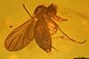 http://mczbase.mcz.harvard.edu/specimen_images/entomology/paleo/large/PALE-7898_Sciaridae.jpg