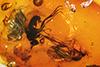 http://mczbase.mcz.harvard.edu/specimen_images/entomology/paleo/large/PALE-7904_Campsicnemus_gracilis.jpg