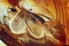 http://mczbase.mcz.harvard.edu/specimen_images/entomology/paleo/large/PALE-7908_Argyra_sp.jpg