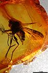 http://mczbase.mcz.harvard.edu/specimen_images/entomology/paleo/large/PALE-7911_Rhagionidae.jpg