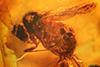http://mczbase.mcz.harvard.edu/specimen_images/entomology/paleo/large/PALE-7932_syn1_Dolichopodidae.jpg