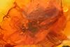 http://mczbase.mcz.harvard.edu/specimen_images/entomology/paleo/large/PALE-7941_Chironomidae_1.jpg