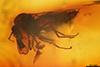 http://mczbase.mcz.harvard.edu/specimen_images/entomology/paleo/large/PALE-7943_Ceratopogonidae.jpg