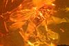http://mczbase.mcz.harvard.edu/specimen_images/entomology/paleo/large/PALE-7949_Ceratopogonidae.jpg
