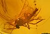 http://mczbase.mcz.harvard.edu/specimen_images/entomology/paleo/large/PALE-7951_syn2_Chironomidae.jpg