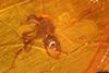 http://mczbase.mcz.harvard.edu/specimen_images/entomology/paleo/large/PALE-7951_syn4_Ceratopogonidae.jpg