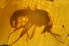 http://mczbase.mcz.harvard.edu/specimen_images/entomology/paleo/large/PALE-7951_syn5_Chironomoidea.jpg