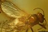 http://mczbase.mcz.harvard.edu/specimen_images/entomology/paleo/large/PALE-7955_syn1_Ceratopogonidae.jpg