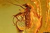 http://mczbase.mcz.harvard.edu/specimen_images/entomology/paleo/large/PALE-7961_syn1_Ceratopogonidae.jpg