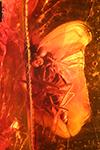 http://mczbase.mcz.harvard.edu/specimen_images/entomology/paleo/large/PALE-7962_Dolichopodidae_1.jpg