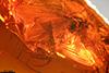 http://mczbase.mcz.harvard.edu/specimen_images/entomology/paleo/large/PALE-7974_Chironomidae.jpg