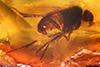 http://mczbase.mcz.harvard.edu/specimen_images/entomology/paleo/large/PALE-7976_Palaeomedeterus_ignavus.jpg